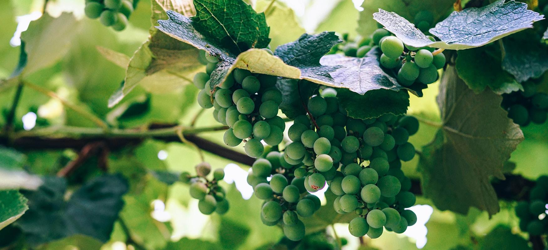 vineyard pruning, surrey, albury